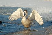 Young swan on frozen lake