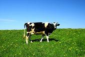 vaca en campo verde