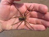 Huge Wolf Spider In Hand
