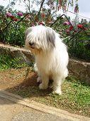 Baguio Dog 1