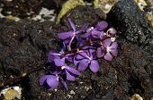 schwarzem Lava und lila Orchideen