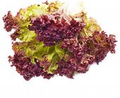 Red lettuce Leaves  isolated on white background
