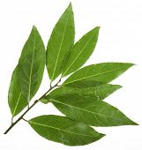 foto of bay leaf  - branch of bay laurel leaves isolated on white - JPG