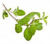 pic of origanum majorana  - Marjoram Herb  - JPG