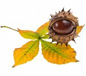 Leaf of horsechestnut tree Horse Chestnuts Aesculus on a white background