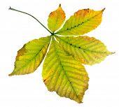 Leaf of horsechestnut tree (Aesculus hippocastanum)  on a white background