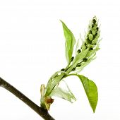 cherry twig with young buds  (Prunus padus). Closeup on white.