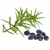 pic of juniper-tree  - Branch of juniper with berries isolated on white - JPG