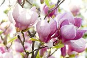 Pink Magnolia Flowers On A Branch