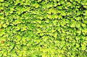 A Wall Of Leaves