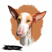 Podenco Canario Dog Portrait Isolated On White. Digital Art Illustration Of Hand Drawn For Web, T-sh poster