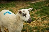 A perky lamb enjoys life on the farm in