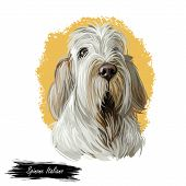Spinone Italiano Purebred Dog With Long Haired Coat Digital Art. Domestic Animal With Furry Face Wat poster