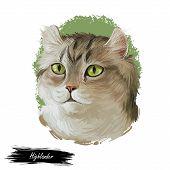 Highlander Kitten Lying On Paw On White Background. Digital Art Illustration Of Hand Drawn Kitty For poster