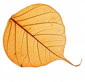 Orange dry  leaf bodhi , macro, isolated on white