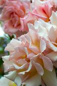 Rosa Compassion, Climbing Rose. Close Up Of Beautiful Pale Pink Rose Flowers Blushed With Peach And  poster