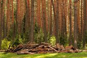 A Pile Of Firewood In The Forest. Firewood In A Forest Glade. Firewood Recycling poster
