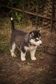 Small Puppies Breed Siberian Husky.husky Puppies Play In The Enclosure. poster