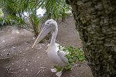 White Pelican - Adult Captive Pelecanus Onocrotalus poster