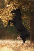 Portrait Of Black Mare Horse Rearing Up On Ground In Sunset Sunlight In Autumn poster