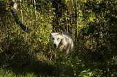 Grey Wolf, Timber Wolf,canis Lupus .  Wild White Timber Wolf. Scene From Natural Wildlife Environmen poster