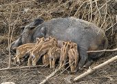 image of teats  - Several piglets suckling from their mothers teats - JPG