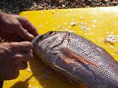 Man cleaning dentex fish