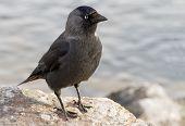 Western jackdaw. Corvus monedula.