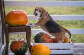 Beagle Dog And Big Yellow Pumpkins On The Summer Veranda Of A Wooden Country House poster