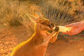 Closeup Of Baby Kangaroo Orphan Having Their Milk. Tourist Feeds Small Kangaroo Bottle Feeding Outdo poster