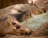 Warthog family resting