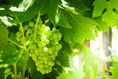 Branches Of White Wine Grapes Growing In Fields. Close Up View Of Fresh White Grape. Vineyard View W poster