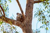 The Unique Native Australian Koala, Sitting In A Gum Tree Cuddling Her Joey In Her Pouch poster