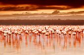 stock photo of pink flamingos  - African flamingos in the lake over beautiful sunset - JPG