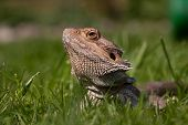 Bearded Dragon in grass