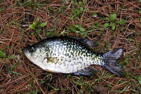 picture of crappie  - crappie fish close up laying on a bed of pine needles and leaves - JPG