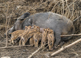 stock photo of teats  - Several piglets suckling from their mothers teats - JPG