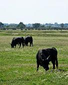 Three Bulls in Field