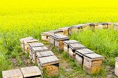 Wooden beehives on oilseed meadow