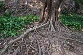 stock photo of centenarian  - grey tree root grows on the earth - JPG