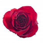 Single Rose Isolated On White