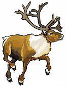 picture of caribou  - caribou reindeer - JPG