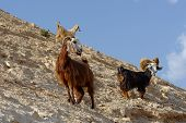 foto of jericho  - Herd of goats on rocky hillside in the desert in Wadi Qelt near Jericho - JPG