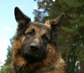 The German shepherd dog
