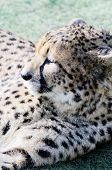 Gepard ruhelosigkeit