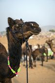 Camel At The Pushkar Fair, Rajasthan, India
