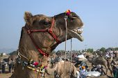 Camel Decorated Head At The Pushkar Fair, Rajasthan, India