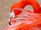 Red Flamingo - Detail