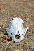 pic of cranium  - front view of dog cranium in the faded grass - JPG