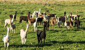 picture of alpaca  - Herd of alpacas together look at the camera - JPG